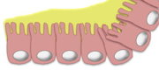 Figure 1: Probiotics improve intestinal epithelial barrier homeostasis - Source: Greentech