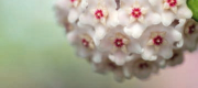 Porcelain flower or Hoya carnosa. (Photo: Courtesy of Silab)