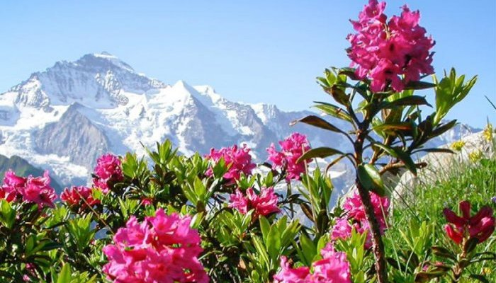 Mibelle calls on the Alpine rose to fight cellular senescence