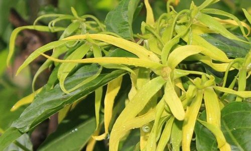 SFP's 2021 International Perfumer-Creator Award will celebrate ylang-ylang