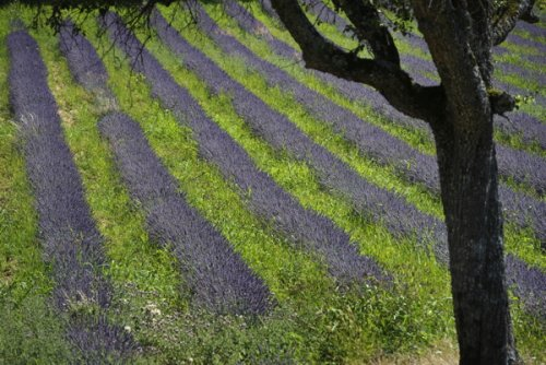 Oil from lavender destined for perfumes, aromatherapy and cosmetics sells...