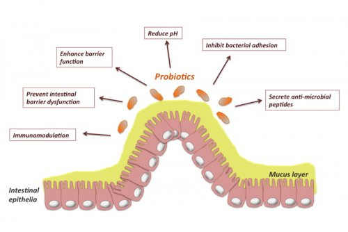 Figure 1: Probiotics improve intestinal epithelial barrier homeostasis -...