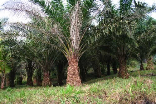 Oil palm tree plantations reduce the orang-outan habitat. Unilever, is...